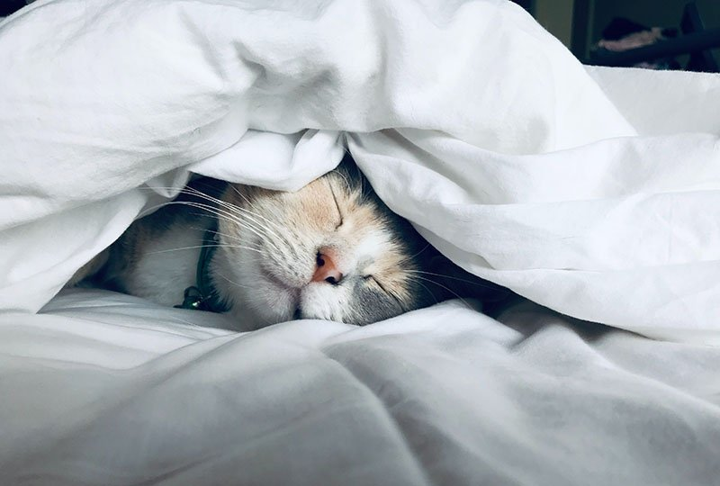 A cat snuggling under a duvet