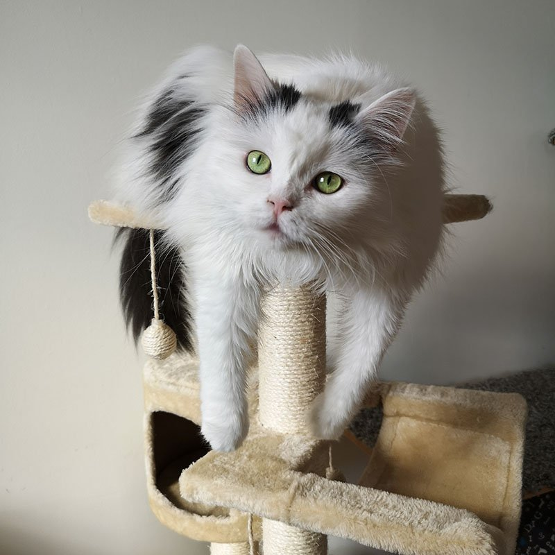 White cat resting with its belly on the top perch of a cat tree