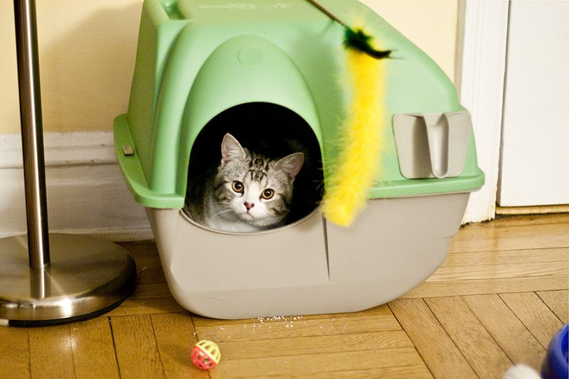 Kitten peaking out of a covered litter box