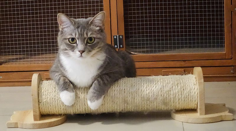 Gray and white cat resting on a scratching post