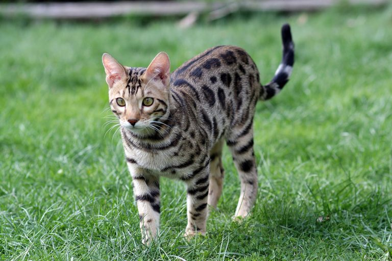 Best Litter Box For Bengal Cats