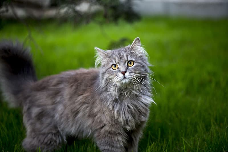Maine Coon cat in a field of grass