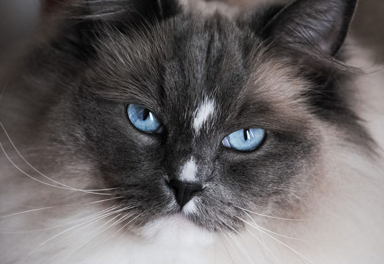 Best Litter Box For Ragdoll Cats