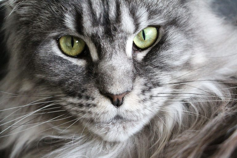 Best Litter Box For Maine Coon